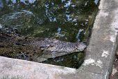 Mugger Crocodile (Crocodylus palustris) also called the Indian, Indus, Persian, marsh crocodile