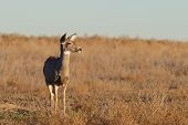 foto of mule  - a mule deer doe standing on the prairie