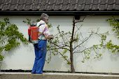 pic of pest control  - a gardener sprays his peach trees as the first leaves appear - JPG