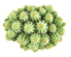 picture of peyote  - Plant bush - JPG