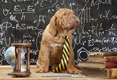stock photo of dogue de bordeaux  - Young cute puppy in front of blackboard during a math class - JPG
