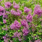 foto of lilac bush  - Image Of Blooming Lilac Bush In Spring - JPG