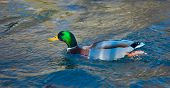 Mallard Duck On The River