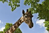 the head of a giraffe on background with blue sky and clouds