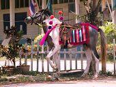 Horse panache