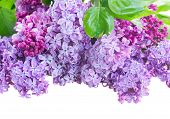image of lilac bush  - Border  of Lilac flowers isolated on white background - JPG