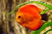 Fish Discus red