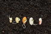 picture of germination  - different been seeds germinating in soil - JPG