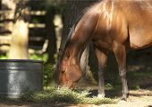foto of horses eating  - A beautiful horse is eating straw in partial shade near Hayden Idaho - JPG