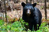 stock photo of omnivores  - American Black Bear in Shenandoah National Park - JPG