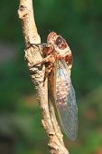 picture of cricket insect  - Cicadas in the trees, close up insect from nature