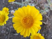 image of xeriscape  - closeup of bloom of desert marigold - JPG