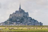 foto of michel  - View to Mount St Michel and sheep in Normandy France - JPG