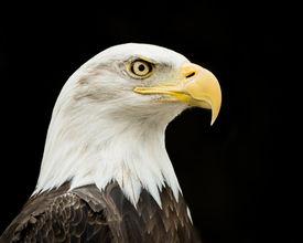 stock photo of eagles  - Profile Portrait of a Bald Eagle Against  a Black Background - JPG