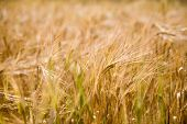 Field of barley, selective focus in the middle