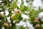 Apple tree with fresh apples, selective focus