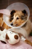 stock photo of sheltie  - Sheltie recovering from surgery with her toy - JPG