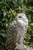 portrait  White snow owl siting on stone - open eyes