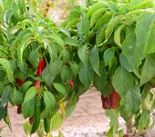 Ripe red chilies being grown in Hatch, New Mexico which is the chili capital of the world.