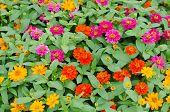 Blooming Zinnias In Garden