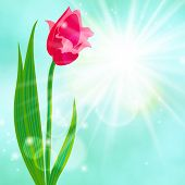 Spring card background with red tulip