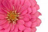 Pink zinnias flower