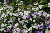 image of australie  - Brunfelsia Australis  - JPG