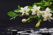 picture of gardenia  - Still life with branch gardenia with black stones  - JPG