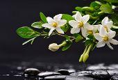 stock photo of gardenia  - Still life with branch gardenia with black stones  - JPG