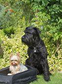 Yorkshire Terrier And Big Black Schnauzer Dog