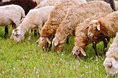 Sheep brown on meadow