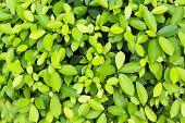 Alkaline ficus leaves