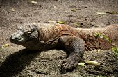 stock photo of komodo dragon  - Closeup of a komodo dragon Varanus komodoensis - JPG