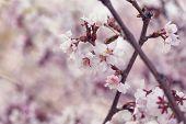picture of sakhalin  - japan cherry sakura flowers in bloom closeup photo - JPG