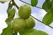 picture of walnut-tree  - three green walnuts on a tree branch with leaves