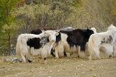 Herd Of Yaks Grazing In The Meadow.