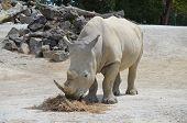Rhino eating