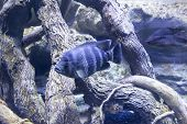 Beautiful striped fish in the aquarium