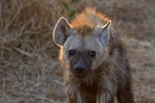 picture of hyenas  - Adult Hyena at Kruger National Park - JPG