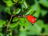 picture of ovary  - Red pomegranate blossom with fruit ovary in garden