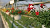 pic of geranium  - blooming geranium plants for sale in the greenhouse in spring - JPG