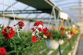 image of geranium  - blooming geranium plants for sale in the greenhouse in spring - JPG