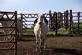image of zebu  - Zebus in Costa Rica - JPG