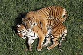 foto of tigress  - portrait of a Siberian Tiger laying in a field of tall grass tigers in love - JPG