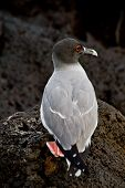 picture of swallow  - Swallow tailed gull in the Galpagos Islands - JPG