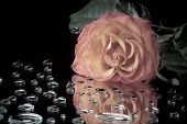 image of mirror  - Pink Rose lying on the mirror surface with water drops - JPG