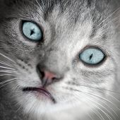 stock photo of blue tabby  - Portrait about a little tabby sad cat with blue eyes - JPG