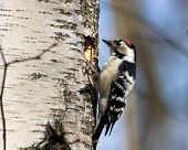 Dendrocopos Minor, Lesser Spotted Woodpecker