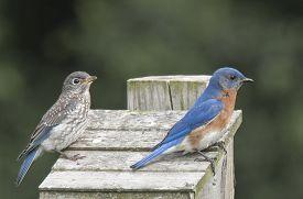 stock photo of bluebird  - An adult and juvenile Eastern Bluebird strike similar poses atop a birdbox  - JPG