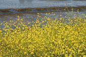 Wild Mustard By The Bay 2
